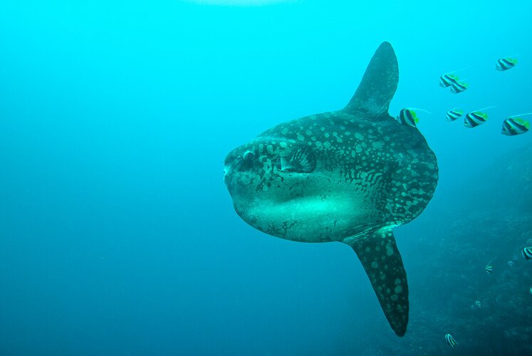 Oceanic sunfish at a cleaning station. Nusa Penida, Pure Dive Resort.